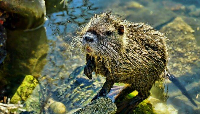 В Литве инспекторы конфисковали больше 50 нутрий, их скормят питомцам зоопарка
