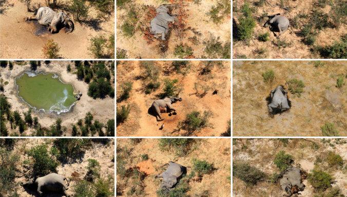 Разгадана тайна гибели сотен слонов в Ботсване
