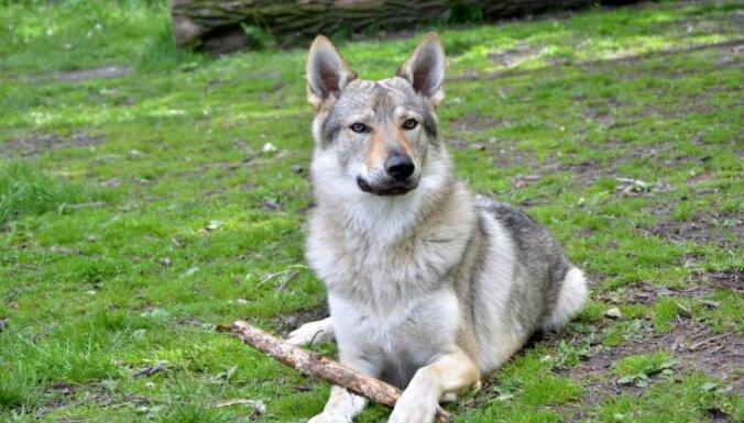 10 пород собак, о которых вы, возможно, даже не слышали