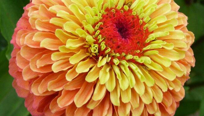 Krāšņās dārza skaistules cinnijas – audzēšanas knifiņi un skaistākās šķirnes