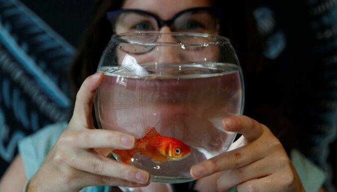Dzīvnieku zinātne: Vai zelta zivtiņām tiešām ir 'trīs sekunžu atmiņa'