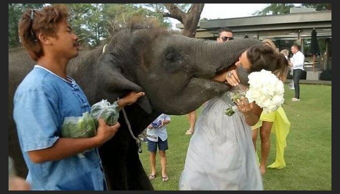 Kāzu laikā zilonis iebāž mutē līgavas galvu