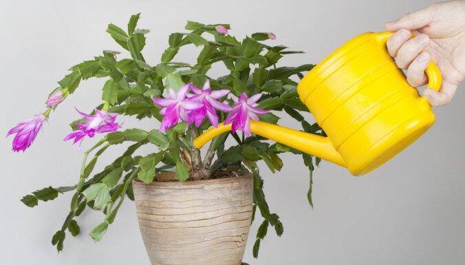 Neskopoties vai saudzēt? Kā vislabāk laistīt tradicionālo Ziemassvētku kaktusu