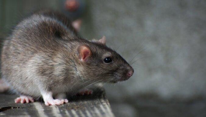 Мозг двух крыс соединили через континенты