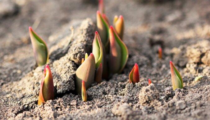 Tulpes janvārī sadzinušas asnus: vai aukstuma gaidās augi jāpiesedz