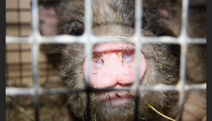 В Варкаве у 50 свиней констатирована АЧС