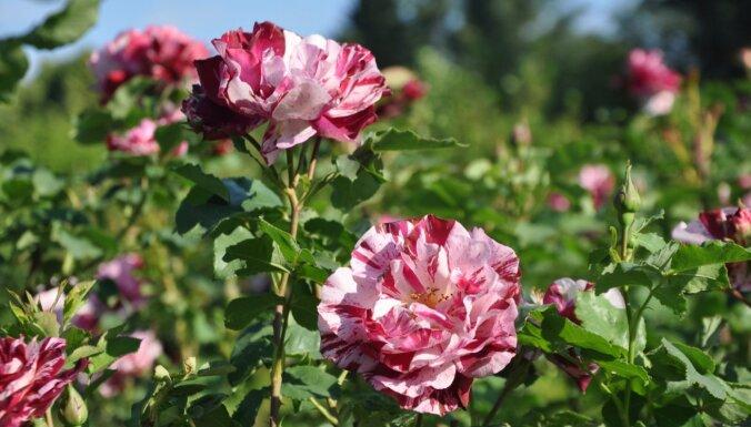 """17 июля в Национальном ботаническом саду в Саласпилсе состоится ярмарка """"День роз"""""""
