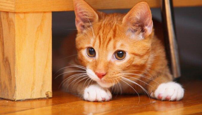 Kaķi grib valdīt! Austrālijas pētnieki noteikuši galvenās minku rakstura īpašības