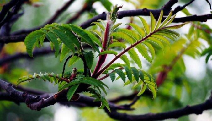 Vissezonu akcents dārzā: etiķkoks un tā audzēšana