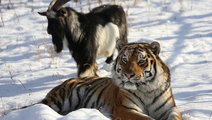 В России умер знаменитый козел Тимур — друг тигра Амура