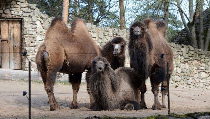 В Рижский зоопарк взрослые посетители смогут пройти только с ковид-сертификатами