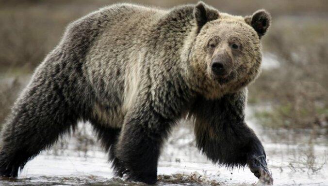 ВИДЕО: На футбольное поле в Пятигорске вышел медведь