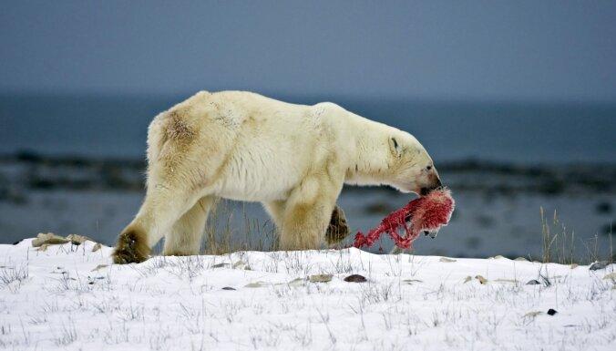 Polārlāčiem draud mokoša bada nāve