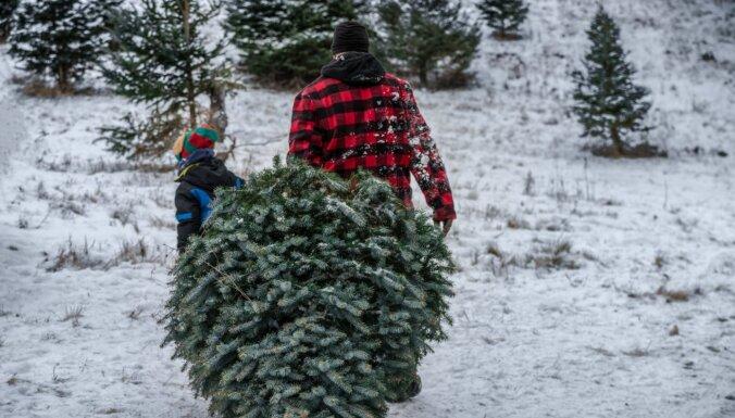 В лесах Рижского самоуправления нельзя рубить елки к Рождеству