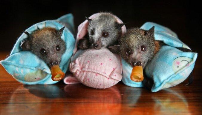 Foto: Sikspārnīši bārenīši zīž, guļ un karājas kopā