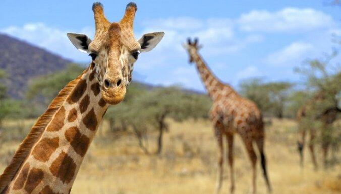 Žirafes drīzumā varētu izmirt, brīdina speciālisti