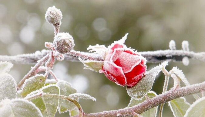 Kā un kad segt rozes