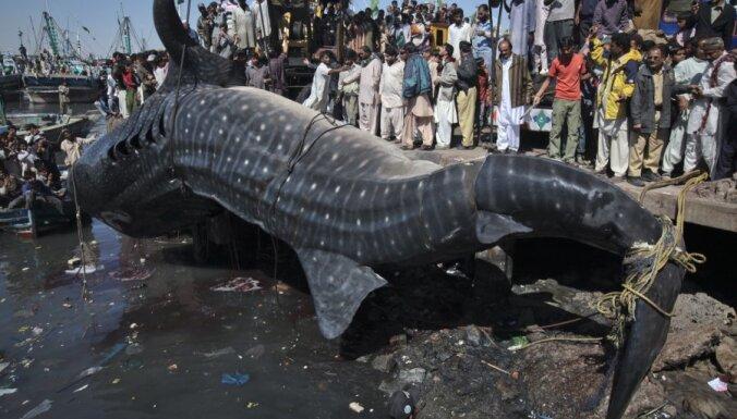 Китовые акулы: испытания атомных бомб помогли установить возраст крупнейших в мире рыб