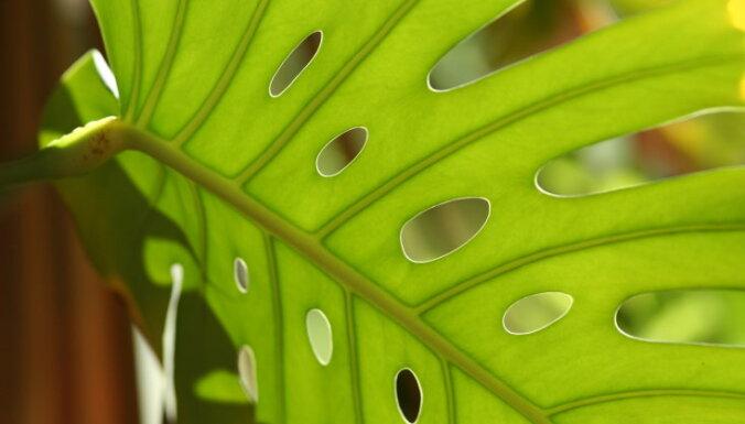 Milzīgo lapu skaistule monstera – kā to audzēt mājās