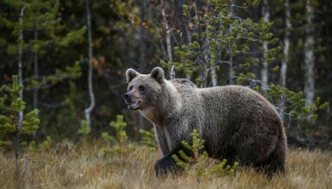 ВИДЕО: В Эстонии медведь перебегает дорогу прямо под носом у полицейских