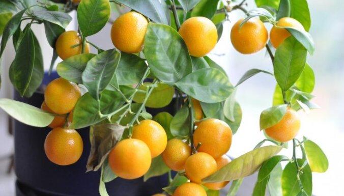 Mandarīnu sezona puķu podā – kā izaudzēt pašam savu mandarīnkoku?