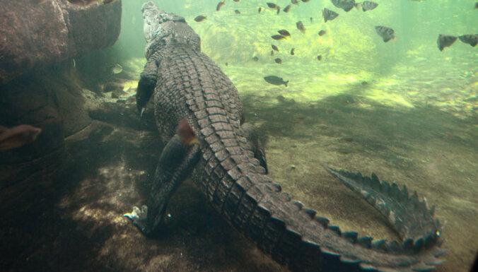Крокодил утащил австралийского мальчика под воду