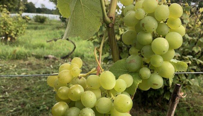Ražas gaidās: darāmie darbi pie vīnogām
