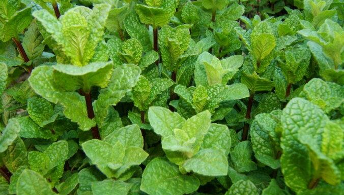 Pieci dārza augi, kurus necieš odi