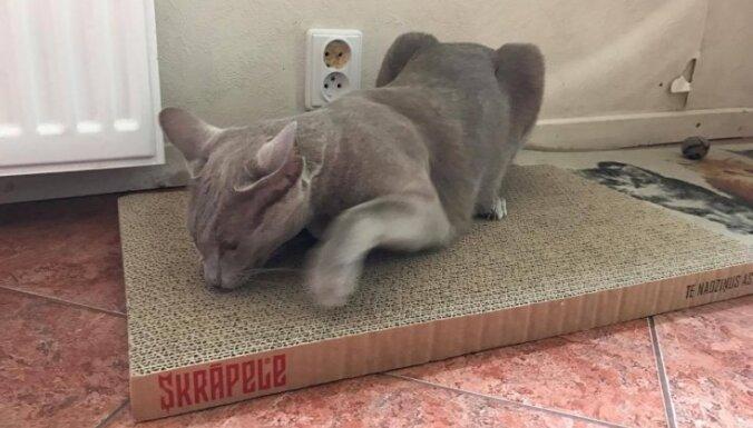 Dīvānā nagus vairs neasinās – jelgavnieki ražo skrāpējamos dēlīšus kaķiem