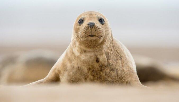 По синему морю к песчаной земле: история спасения балтийских тюленей