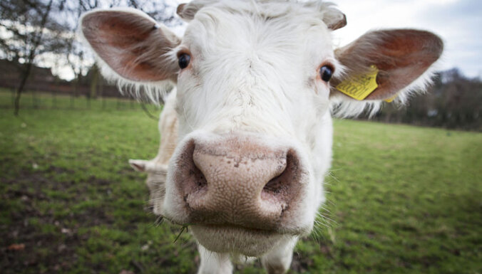 Satrakojusies govs traumē sievieti