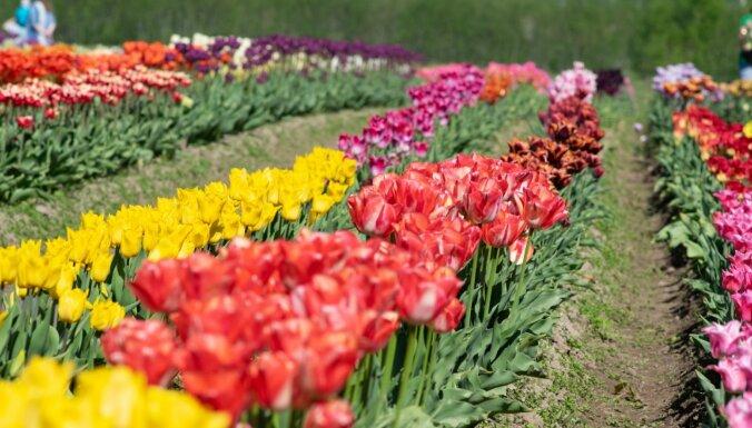 Kā ārvalstīs: Daugmalē krāšņi zied iespaidīgie tulpju lauki