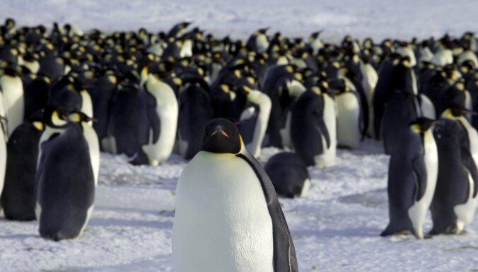 Interesanti fakti par vissolīdāk tērptajiem putniem – pingvīniem