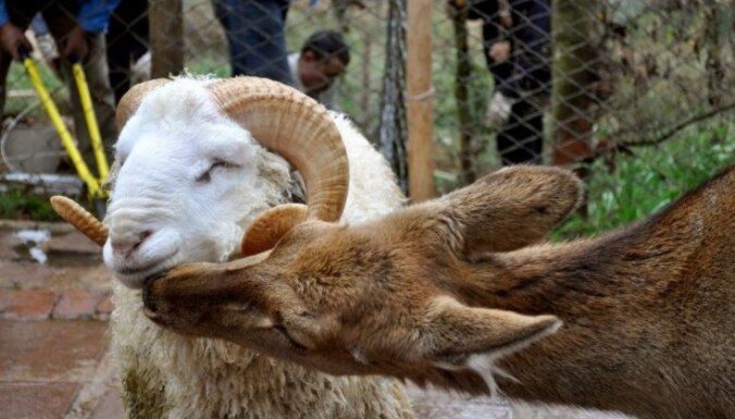 В зоопарке баран влюбился в самку оленя