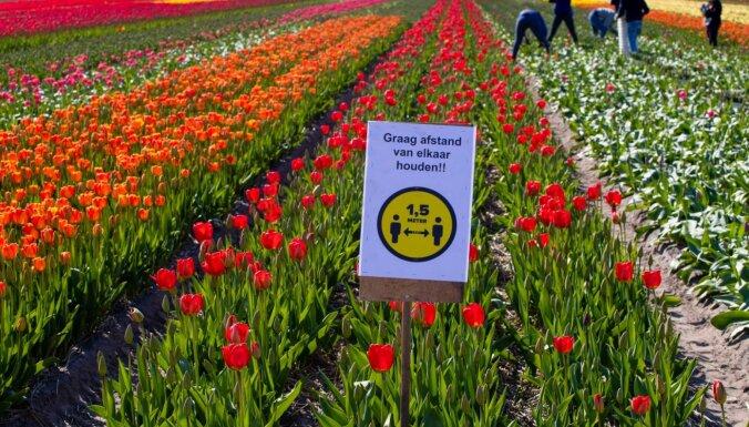 Foto: Pavasarīgs košums – Nīderlandes tulpju lauki raisa ziedus