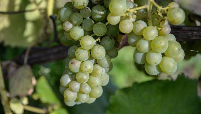 Abavas vīna darītavas saldais ceļš no vīnogu ķekariem līdz vīnam pudelēs