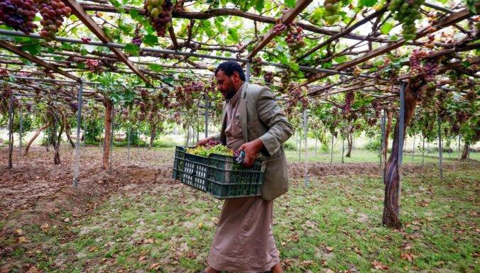 Foto: Kā sulīgās vīnogas Jemenā pārtop par rozīnēm