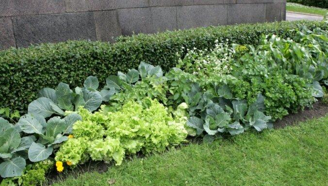 Dārzeņus pie valdības ēkas pakāpeniski nomainīs pret ziediem