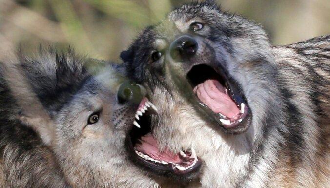 Во Франции из зоопарка сбежали привезенные из Латвии волки: двоих застрелили, остальных ищут
