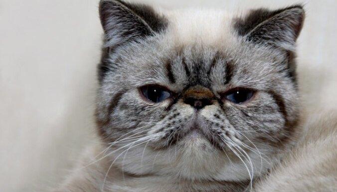Persijas kaķa īpatnējais radinieks – īsspalvainais eksots