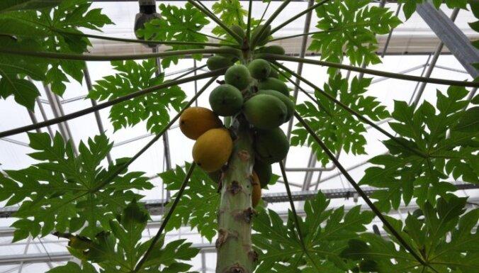 Citroni, ziedošas magnolijas un agaves – mūžīgā vasara Salaspils oranžērijā