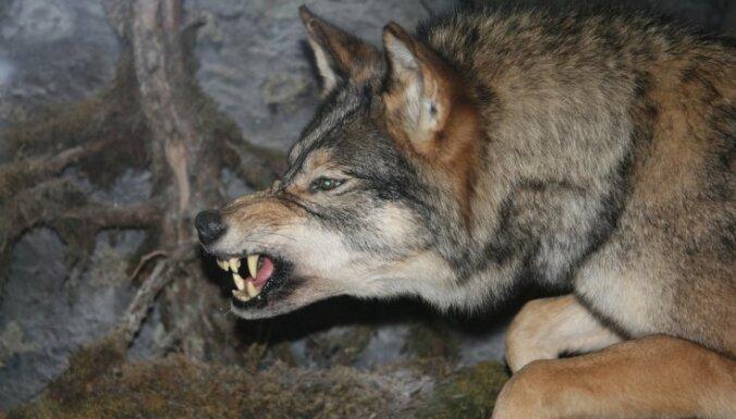 Mežu izciršana vilkiem atvieglo medīšanu
