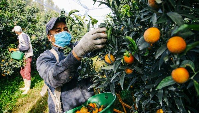 Foto: Korsikas salā novāc Ziemassvētku vēstnešus – mandarīnus