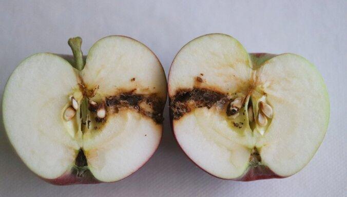 Puve kartupeļos, ābolu tinēji un citi: likstas dārzos augusta beigās