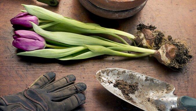 Padomi sīpolpuķu iegādei un audzēšanai: kā tās pieradināt pavasarī
