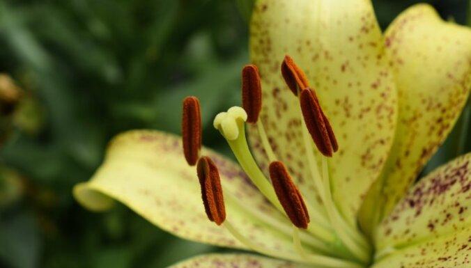 Kā izmazgāt liliju atstātos traipus uz auduma