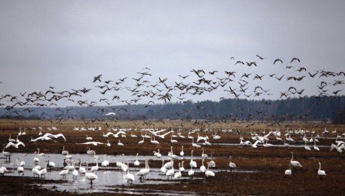 Aicina uz pārgājieniem un radošajām darbnīcām Putnu dienās visā Latvijā