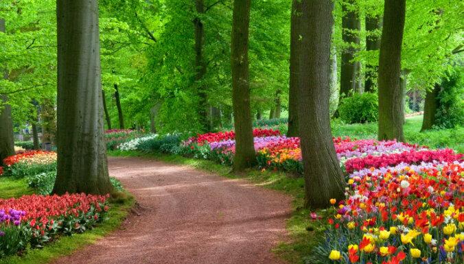 Lai tulpes zied krāšņi! Seši selekcionāra padomi