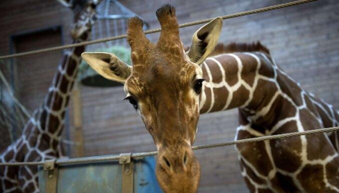 Atsitoties ar galvu pret tiltu, transportēšanas laikā Dienvidāfrikā gājusi bojā žirafe