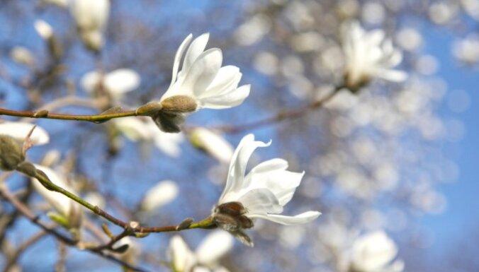 ФОТО. В рижском Ботаническом саду цветет самая большая коллекция магнолий в Латвии